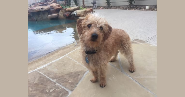 Photo of Chewy, a Dachshund, Poodle (Small), and Maltese mix