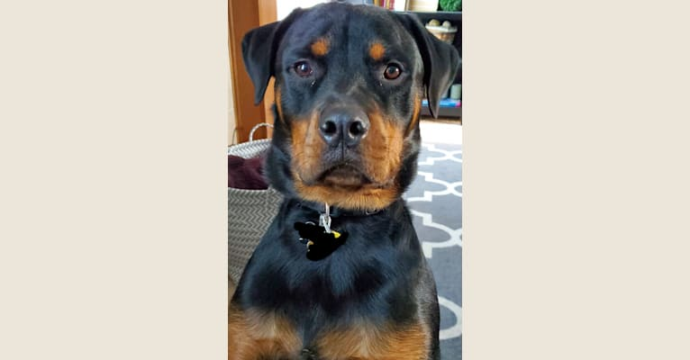 Photo of Remus, a Rottweiler  in Indiana, USA