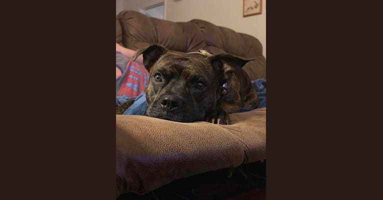 Photo of Jax, an American Pit Bull Terrier, American Staffordshire Terrier, and Bulldog mix in Fayetteville, North Carolina, USA