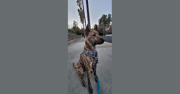 Photo of Taika King, a Phu Quoc Ridgeback  in California, USA