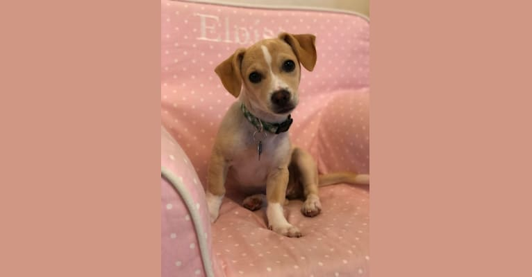 Photo of Jack, a Chihuahua, Poodle (Small), and Mixed mix in Corte Madera, California, USA