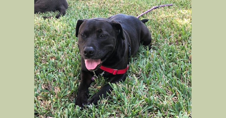Photo of Snoop, an American Bully and Golden Retriever mix in Miami, Florida, USA