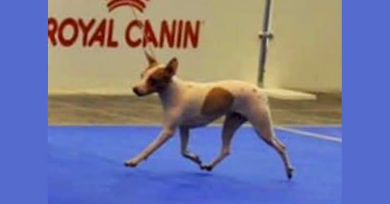 Photo of Vega, an American Hairless Terrier  in Ukraine