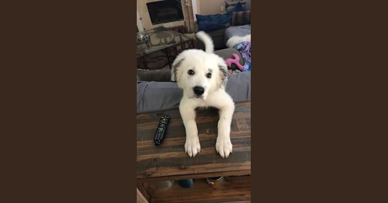 Photo of Wally, a Great Pyrenees  in McKinney, Texas, USA