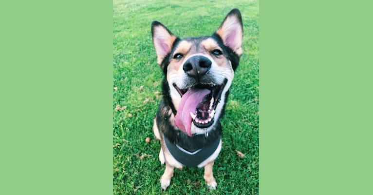 Photo of Arya, an Australian Cattle Dog, German Shepherd Dog, Siberian Husky, Chow Chow, Akita, Russell-type Terrier, and Mixed mix in Riverside, California, USA