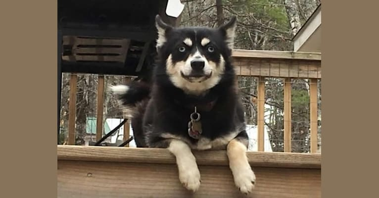 Photo of Lexi, a Pomsky  in Stanley, WI, USA
