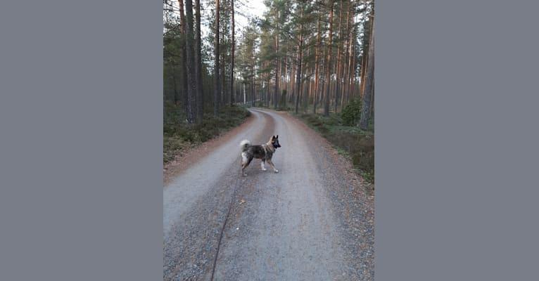 Photo of Väiski, a Central Asian Village Dog  in Russia