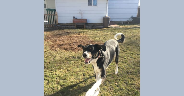 Photo of Beau, an Australian Cattle Dog, Great Pyrenees, Mountain Cur, and Labrador Retriever mix in Hampshire, Illinois, USA