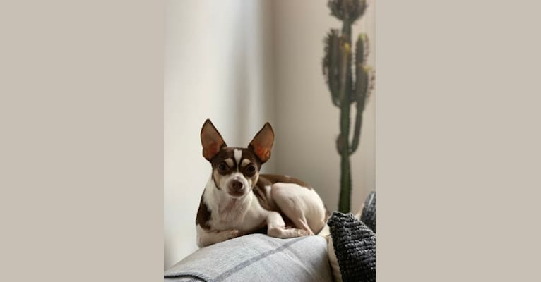 Photo of Howie, a Chihuahua, Rat Terrier, and Mixed mix in Tennessee, USA