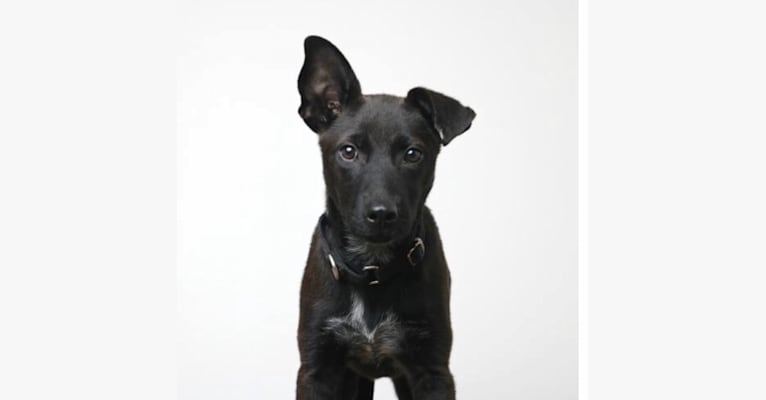 Photo of Penelope, an American Pit Bull Terrier, Chow Chow, and German Shepherd Dog mix in Texas, USA