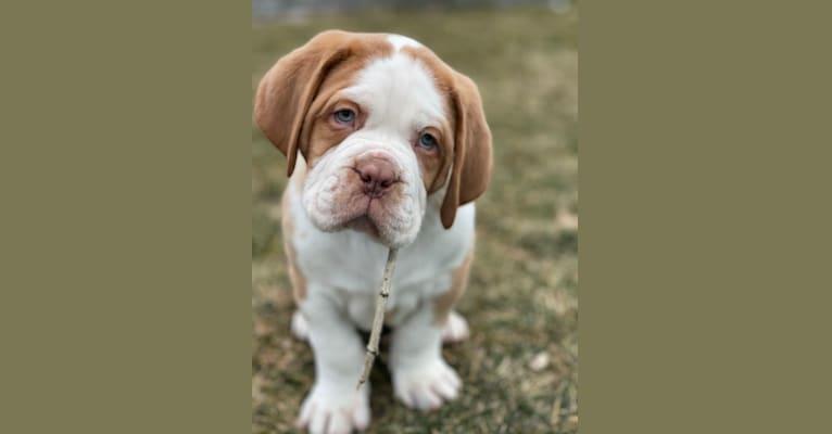 Photo of Finnegan, a Dogue de Bordeaux  in North Stonington, CT, USA