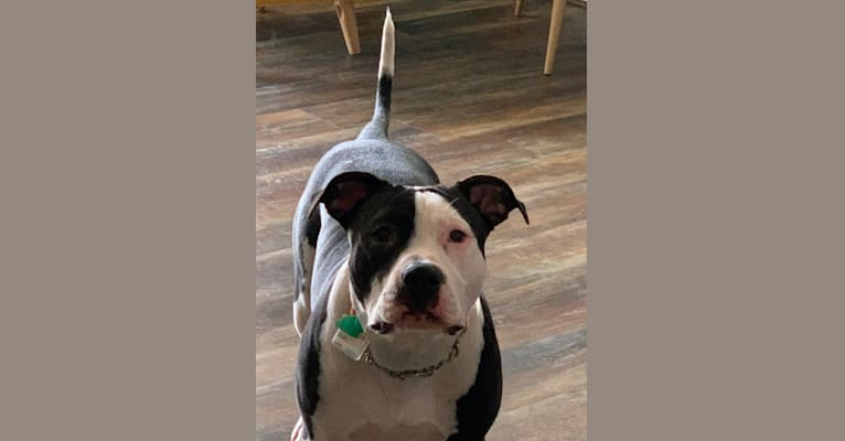 Photo of Ginsburg Blue, an American Pit Bull Terrier, American Staffordshire Terrier, and American Bulldog mix in Weed, California, USA
