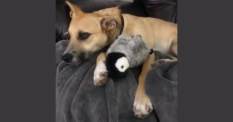 Photo of Kobe, a Chihuahua, American Pit Bull Terrier, Poodle (Small), and Mixed mix in Modesto, CA, USA
