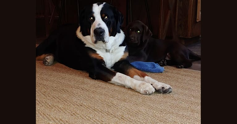 Photo of Samson-94, a Greater Swiss Mountain Dog  in Long Island, New York, USA
