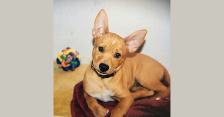 Photo of Aidan, a Chihuahua, German Shepherd Dog, Boxer, Cocker Spaniel, and Mixed mix in Punta Santiago, Humacao, Puerto Rico, Humacao, Puerto Rico
