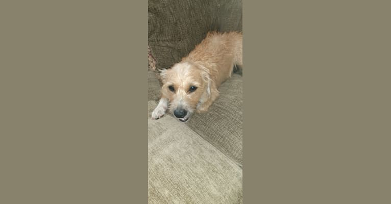 Photo of Sophia, an American Pit Bull Terrier, Chihuahua, Poodle (Small), American Staffordshire Terrier, and Mixed mix in Menifee, California, USA