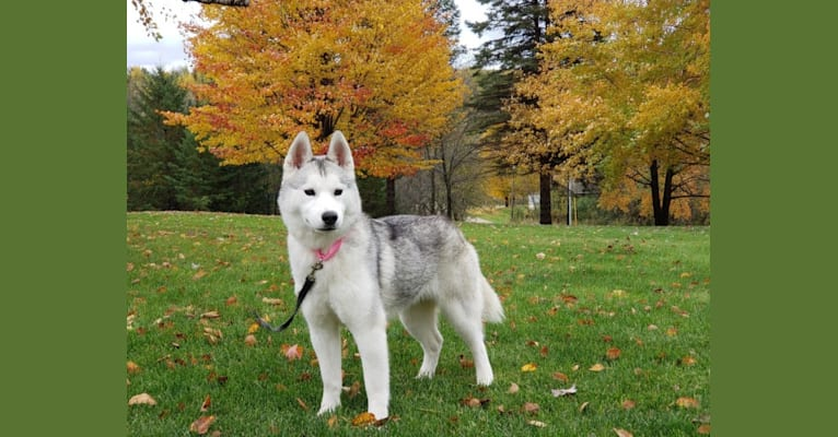 Photo of Bets, a Siberian Husky  in Buffalo, Minnesota, USA
