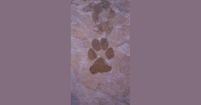Photo of Apollo Lynch, a German Shepherd Dog  in Ottawa, Illinois, USA