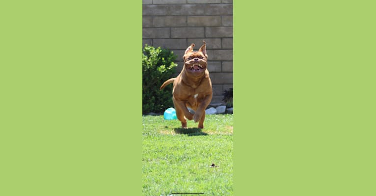 Photo of Rhett, a Dogue de Bordeaux  in PuppyCreek Kennels, Madison 3184, Witter, AR, USA