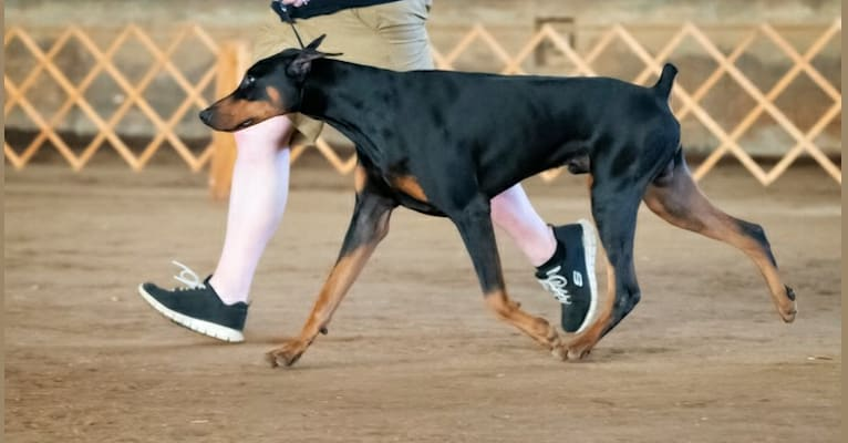 Photo of Fate, a Doberman Pinscher  in Georgia, USA