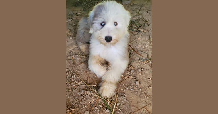 Photo of Freya, an Old English Sheepdog  in Tennessee, USA