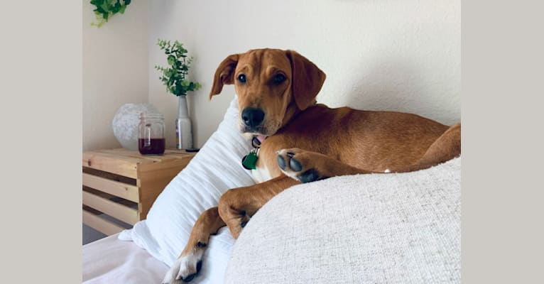 Photo of Millie Bambi, a Bloodhound, American Pit Bull Terrier, and Australian Cattle Dog mix in Tallahassee, Florida, USA