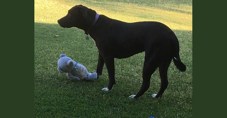 Photo of Gracie, an American Bully, American Pit Bull Terrier, German Shepherd Dog, and Mixed mix in California, USA
