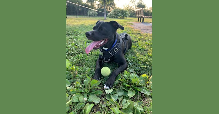 Photo of Lucas, an American Pit Bull Terrier and American Staffordshire Terrier mix in Kentucky, USA