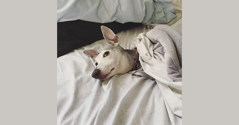 Photo of Mulder Aurelius, an Italian Greyhound  in Tallahassee, Florida, USA