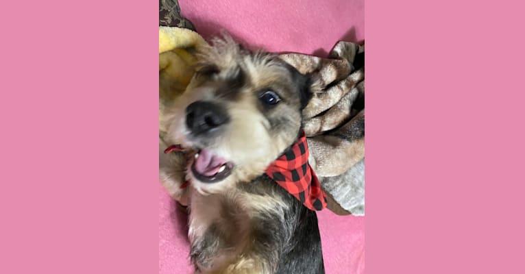 Photo of Bruno, a Bulldog and Miniature Schnauzer mix in Glen St Mary, Florida, USA