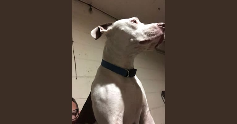 Photo of Gambit, an American Pit Bull Terrier and American Staffordshire Terrier mix in Tampa, Florida, USA