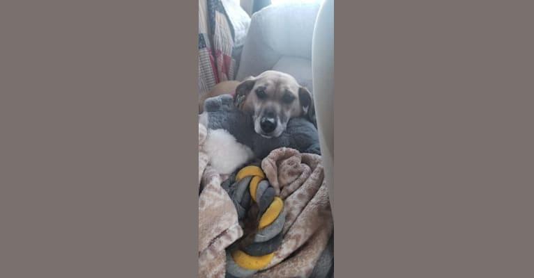 Photo of Thea, a Beagle, Chihuahua, Shetland Sheepdog, Rat Terrier, and Mixed mix in Asheville, NC, USA