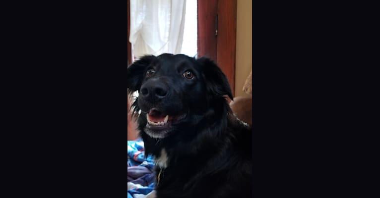 Photo of Luna, an English Shepherd  in Michigan