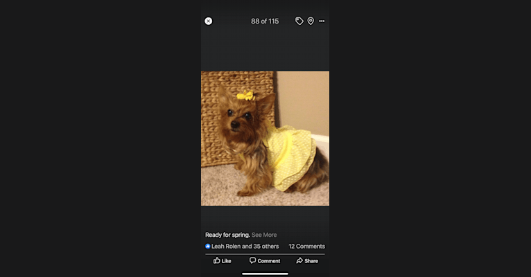 Photo of Anna, a Yorkshire Terrier  in Arkansas, USA