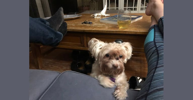 Photo of Pepper, a Chihuahua, Poodle (Small), Rat Terrier, and Mixed mix in Oakland, California, USA