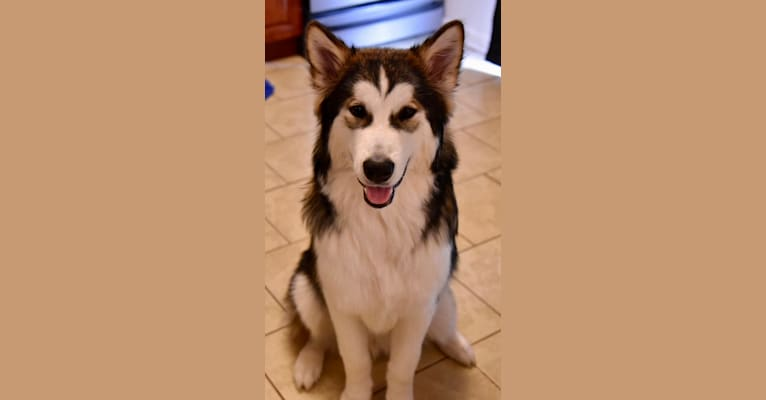 Photo of Uhtred of Bebbanbark, an Alaskan Malamute