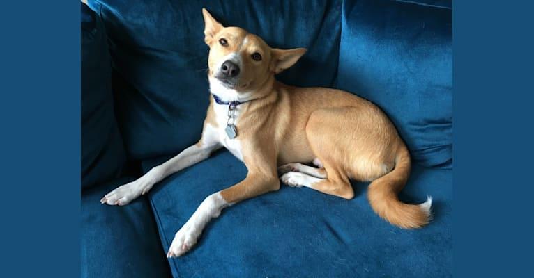 Photo of Ebo, a Basenji, Miniature Schnauzer, and American Eskimo Dog mix in San Diego, California, USA