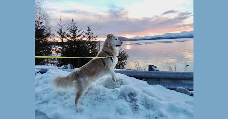 Photo of Arvo, a Golden Retriever, Shih Tzu, Labrador Retriever, and Mixed mix in Juneau, Alaska, USA