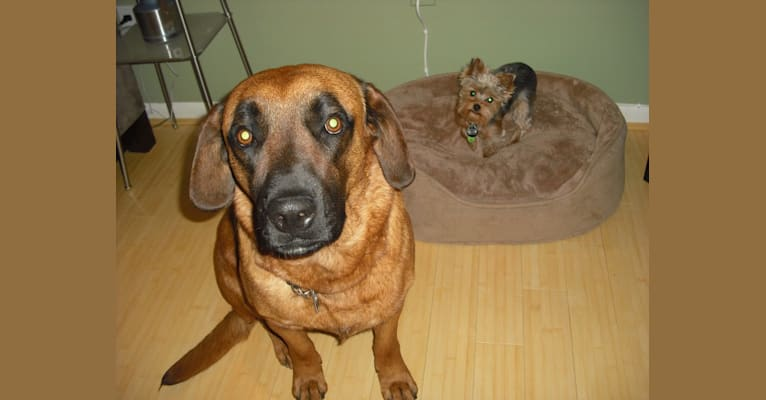 Photo of Zeus, a Boxer, Rottweiler, American Pit Bull Terrier, and Cocker Spaniel mix in Denver, North Carolina, USA