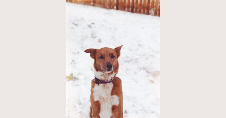 Photo of Charlie, an Australian Cattle Dog, Australian Shepherd, Labrador Retriever, and Mixed mix in Arizona, USA