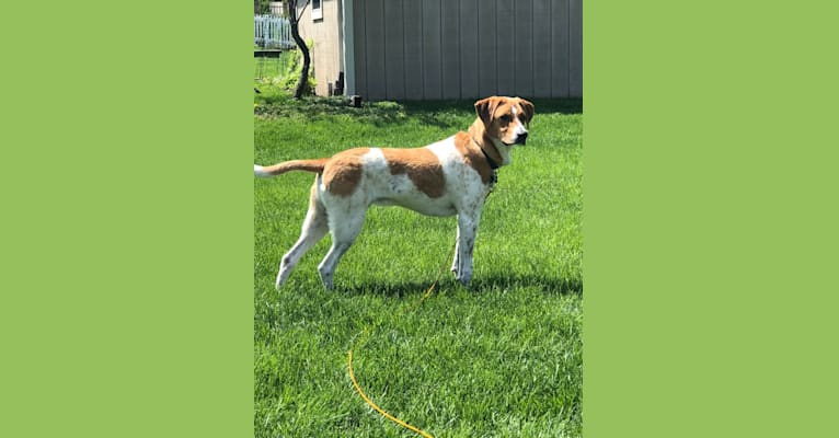 Photo of Tango, a Treeing Walker Coonhound, American Pit Bull Terrier, Pointer, Labrador Retriever, Golden Retriever, Chow Chow, and Mixed mix in Greenfield, Wisconsin, USA