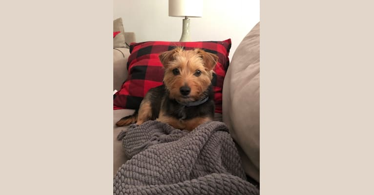 Photo of Ellie, a Russell-type Terrier and Yorkshire Terrier mix