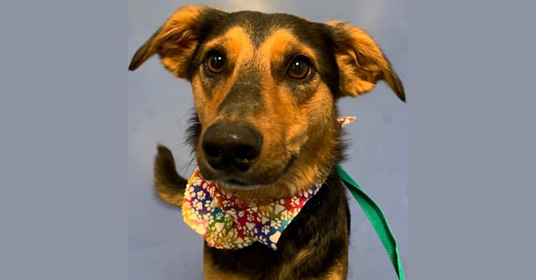 Photo of Lucian, a German Shepherd Dog, Border Collie, Australian Shepherd, and American Pit Bull Terrier mix in Pack Leaders Rescue of CT, East Hartford, CT, USA