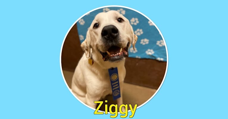 Photo of Ziggy Stardust, a Great Pyrenees, American Staffordshire Terrier, and Basset Hound mix in Texas, USA