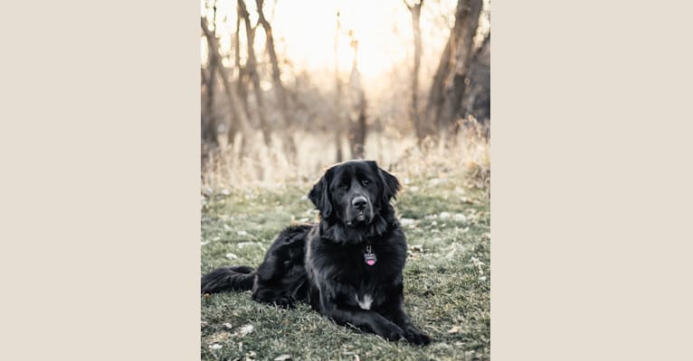 Photo of Conway, a Golden Retriever, Great Pyrenees, Anatolian Shepherd Dog, and Poodle (Standard) mix in Lonsdale, Minnesota, USA