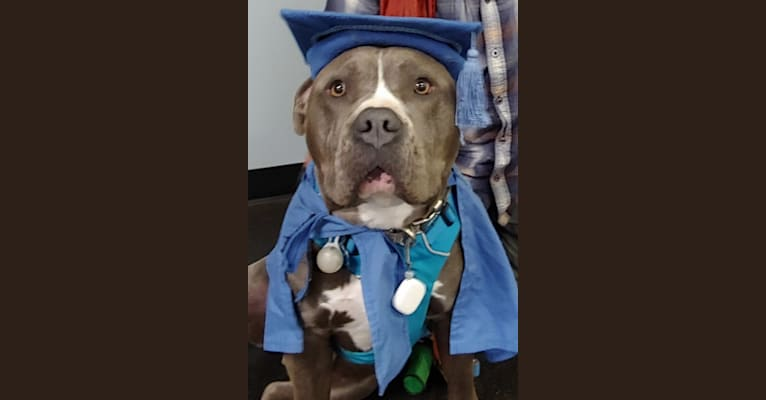 Photo of Blue Bullet, an American Pit Bull Terrier and American Staffordshire Terrier mix in Louisville, Kentucky, USA
