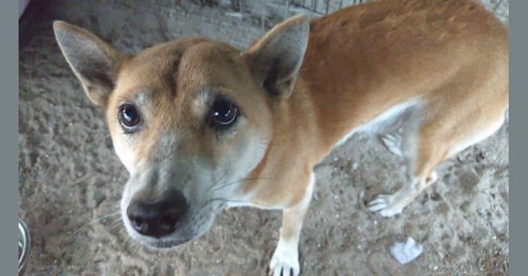 Photo of Clara, a New Guinea Singing Dog