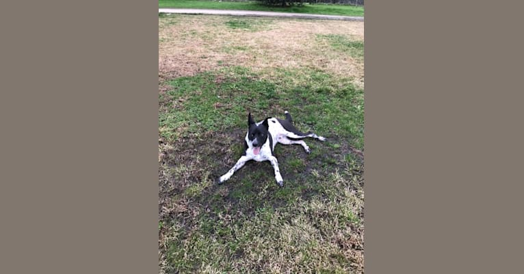 Photo of Chase, an American Pit Bull Terrier, Australian Cattle Dog, German Shepherd Dog, and Mixed mix in Fresno, California, USA