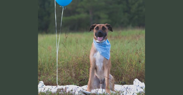 Photo of Milo, an American Pit Bull Terrier, Boxer, Labrador Retriever, Australian Cattle Dog, German Shepherd Dog, and Mixed mix in Florida, USA