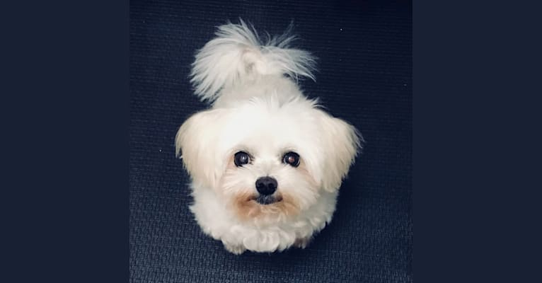Photo of Pinkie, a Maltese and Pomeranian mix in Yorba Linda, California, USA